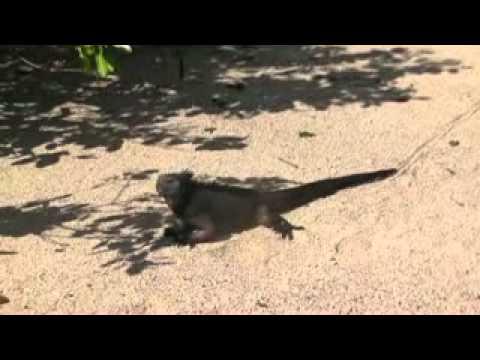 Ecuador Galapagos leguaan zwart xvid