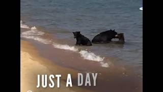 Bear Mom Takes Her Kids To The Beach