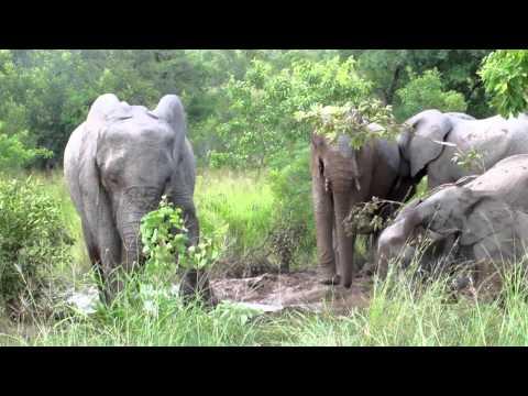 SA Jan 2012: Sabi Sands. Elephants bathing.