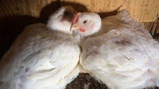 SPCA investigates alleged chicken abuse