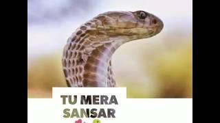32 shirala #nagpanchmi whatsapp status new cobra festival shirala.tuhi khuda tu mera sansar