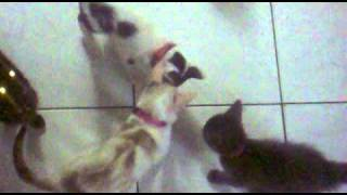 Zombies Cats Meowing - cats whit laser