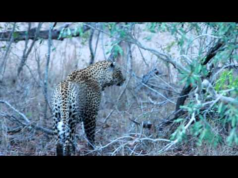 Male Leopard Hunting!