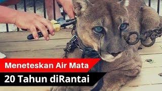 MENGHARUKAN.!! Singa Gunung Ini Menangis Saat Terlepas Dari Belenggu Rantai