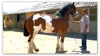 Fríz csikó,3db Shire ló eladó! (Rácalmási Gyuszi lovai)