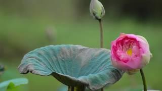 Nature HD | Original background music | Lotus