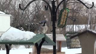 Blue Jay Feeding