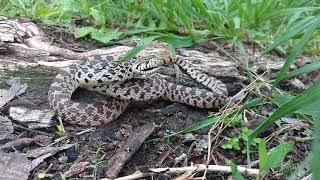 Bull snake in KS acting tough