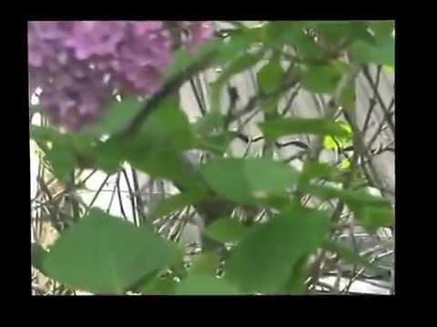 Lilac bush full of butterflies and beetles in Ukraine, Berezan, May 2012
