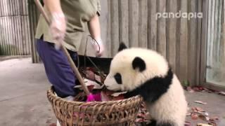 "Panda cub and nanny's ""war"
