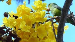 fauna e flora brasileira PERIQUITO FLORES superação animal selvagem brazilian silvestre wildlife width=