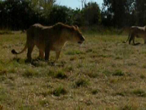 Lion Farm – 2