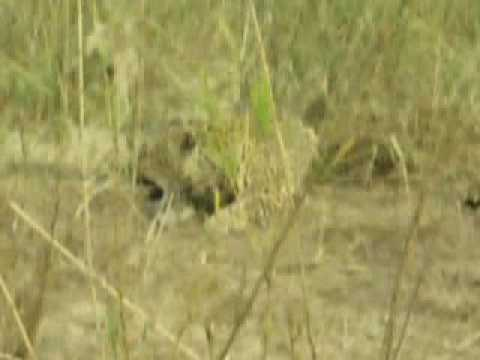 Leopard Encounter at Dulini