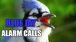 Blue Jay Alarm Calls and Imitating a Sharp-shinned Hawk