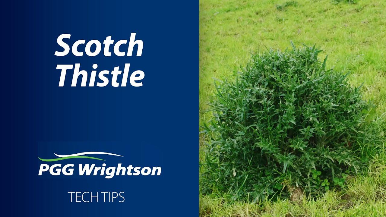 Scotch Thistle | PGG Wrightson Tech Tips