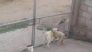 Perrito peluche intentando pizar a la perra