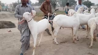 Gulabi Bakre   2019 1 Tarik 1 Mahina 03354746487بکرا منڈی پاکستان گوٹ فارمنگ راجن پوری بکریوں کی