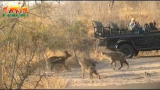 Cão selvagem Africano contra hienas. Sucessão improvável de eventos / reunião de dois predadores af