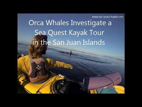 Orcas Investigate Kayaks - Sea Quest Kayak Tours - San Juan Islands