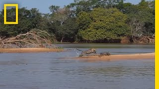 Jaguar Attacks Crocodile Cousin (EXCLUSIVE VIDEO)   National Geographic