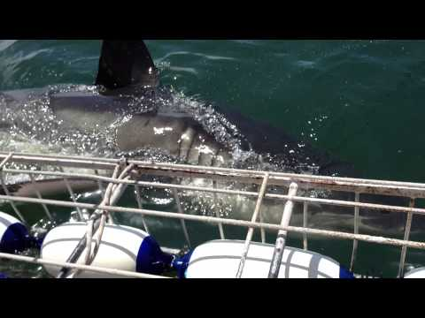 Double Shark Action!! Great White Shark Cage Diving at Gansbaai, South Africa