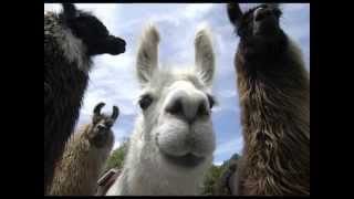 Let Me Be Your Llama by the Divers