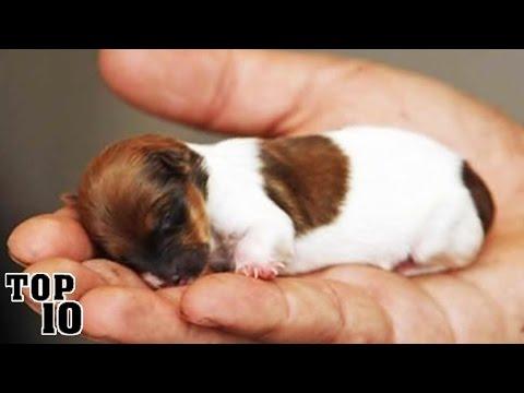 Cei mai mici caini din lume