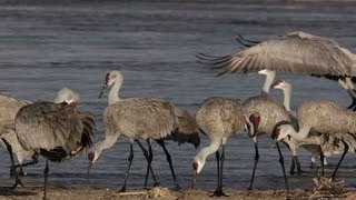 Bird lovers flock to wondrous spectacle of sandhill crane migration