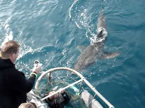 Great White Shark cage diving Hermanus, near Cape Town in South Africa