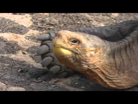 Lonesome George and other Galapagos Tortoises