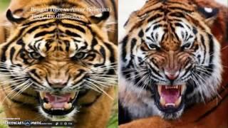 bengal tiger vs siberian tiger