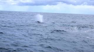 Blue whale Azores 2017