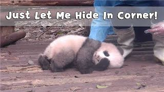 ' I Got Camera Shy. Just Let Me Hide In Corner! ' -- Panda Cheng Shi | iPanda