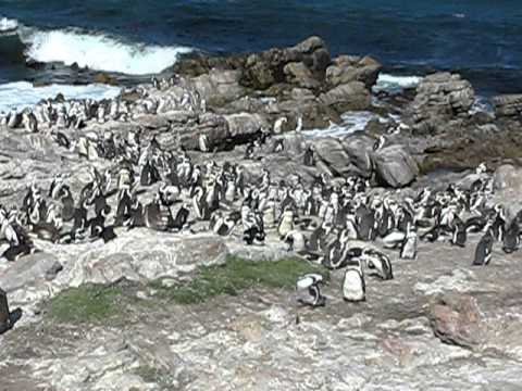 pinguins at Bettys Bay South Africa dec 2010.avi