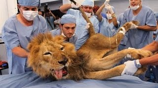 Asiatic Lion got heart attack and Fainted | Surprising