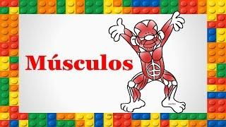 Corpo Humano para Crianças - Músculos