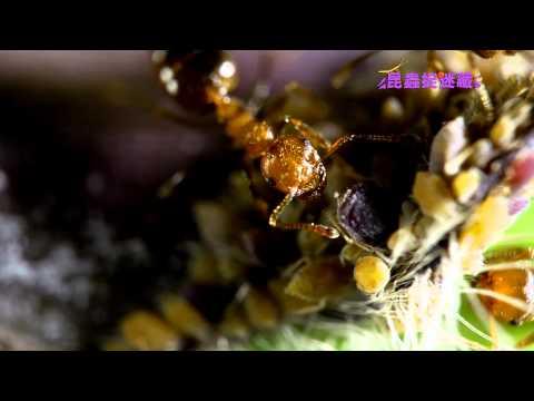 《昆蟲捉迷藏》【昆蟲三角關係:蚜蟲、螞蟻與瓢蟲】 - YouTube