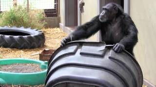 Rescued chimpanzee performs dominance display