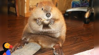 Rescue Beaver Loves Building Dams In His House - JUSTIN BEAVER | The Dodo width=