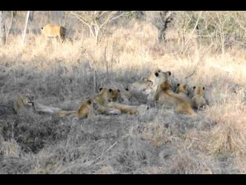 Lions at Lion Sand Private Game Reserve