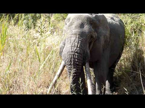 Elephant Finally Gets a Good Drink – Mala Mala, South Africa