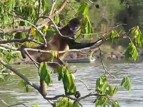 Nicaragua singe
