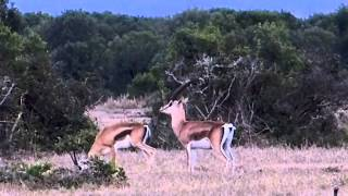 The mating game, Grants Gazelles