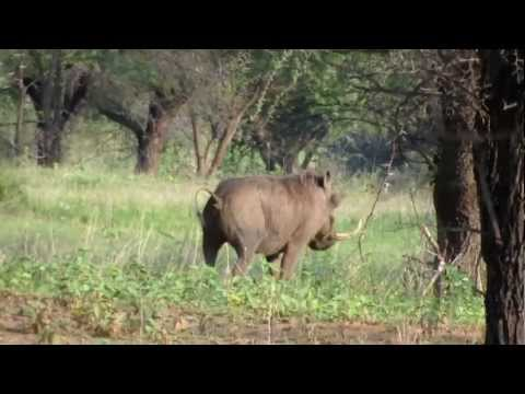 Impossible HUGE tooth on warthog  at Marakele National Park in South Africa very funny.mp4