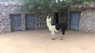 A cute llama is eating green leaves