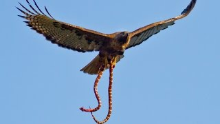 Hawk Drops Snake on family BBQ