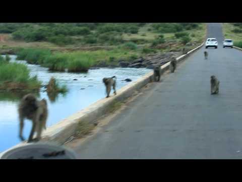 Kruger Park_Baboons1.MOV