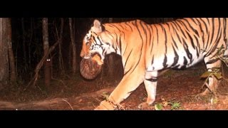 Tiger walking with a tortoise in mouth