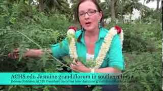 ACHS.edu Jasmine grandiflorum in south India