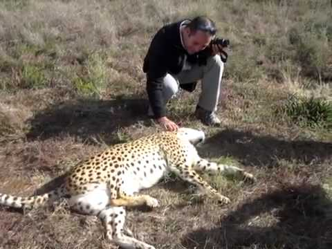 Cheetah kicks leg while Nick pets him